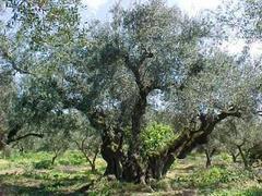 """Ntopia"" olive tree"